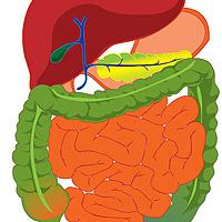 Alcatuirea si functionarea sistemului digestiv